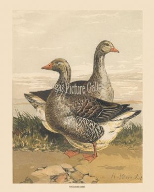 Geese, Toulouse; by Harrison Weir